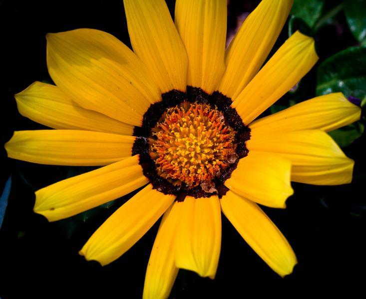 Daisy-7346