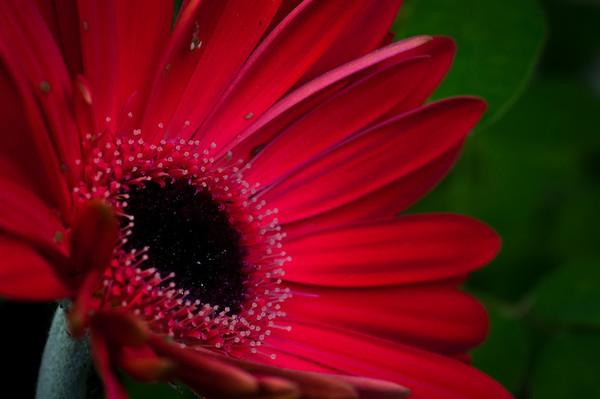 Gerbera Daisy-7352