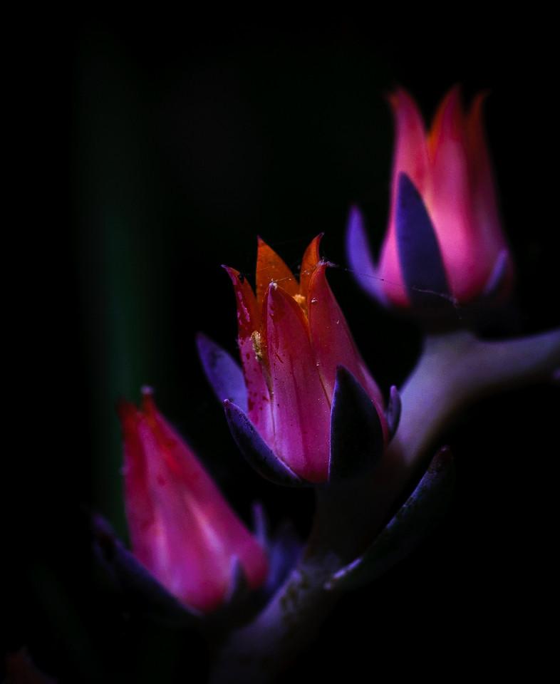 succulent blooms-8688