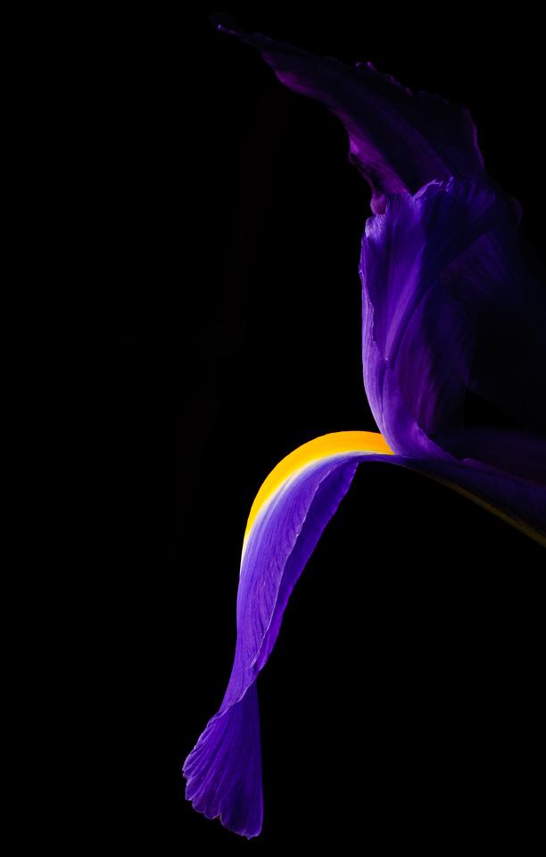 Iris-6876