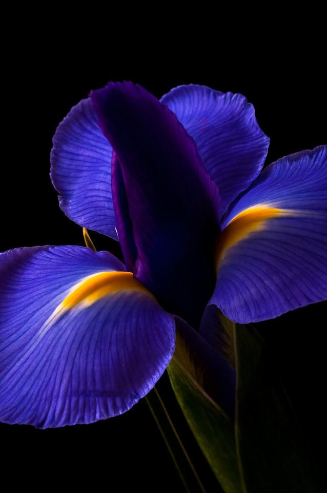 Iris-6894