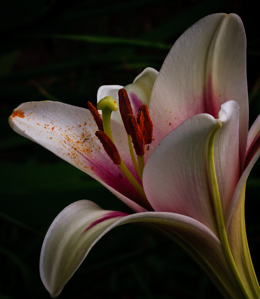 Lily-8620