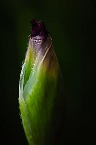 Iris-7460