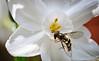 Bee-5716