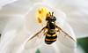 Bee-5739