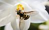 Bee-5737