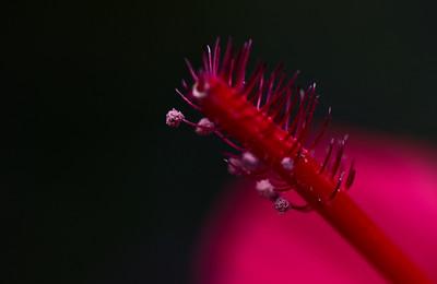hibiscus-8149
