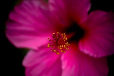 hibiscus-8282