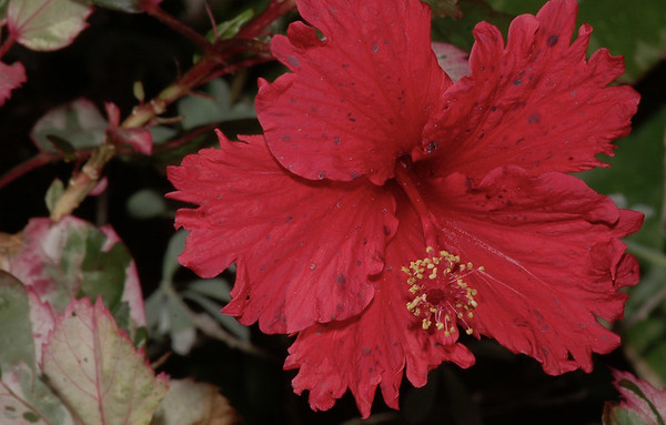 Spotted hibiscus