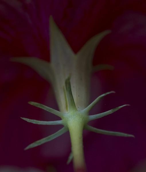 hibiscus-8426