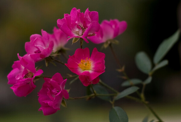 roses-9378