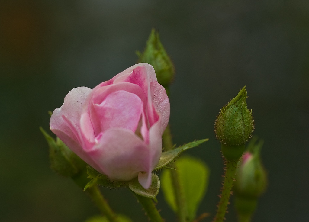 rose in the fog-2