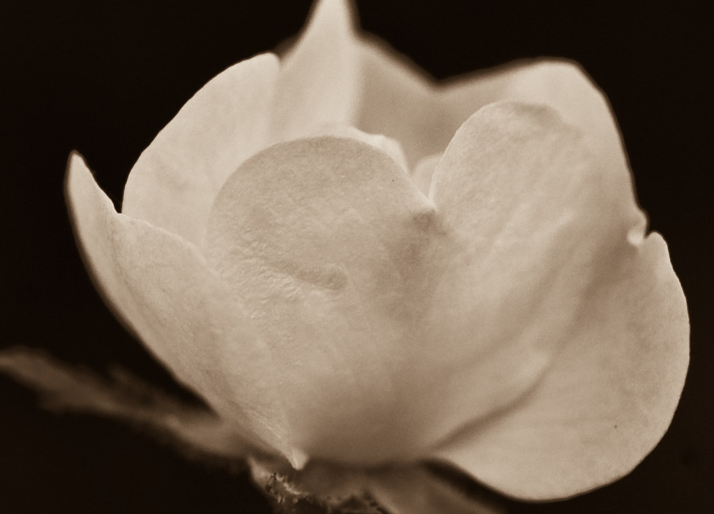 little rose sepia-1