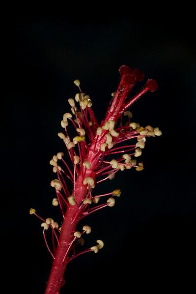 hibiscus-8959