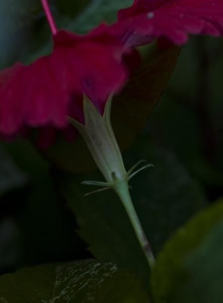 hibiscus-8425