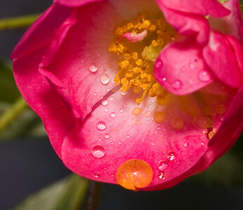 Evening rose-8662-2