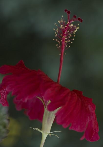 hibiscus-8417