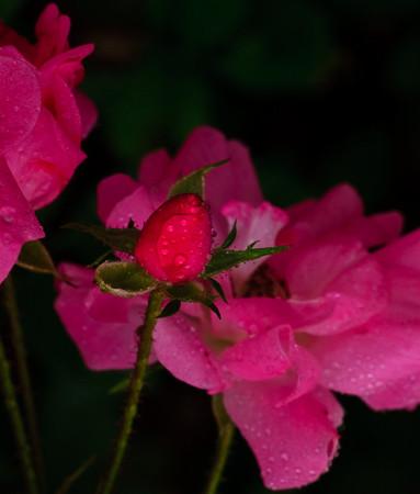 Rose bud-2427-2
