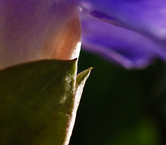 Purple shade-1803