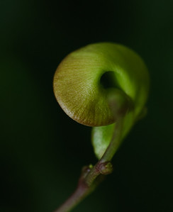 Green Eye-1830