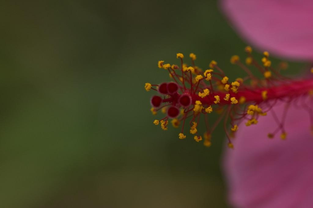 hibiscus-8285