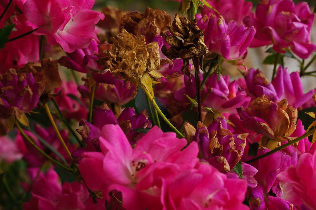 Rosescape-2439