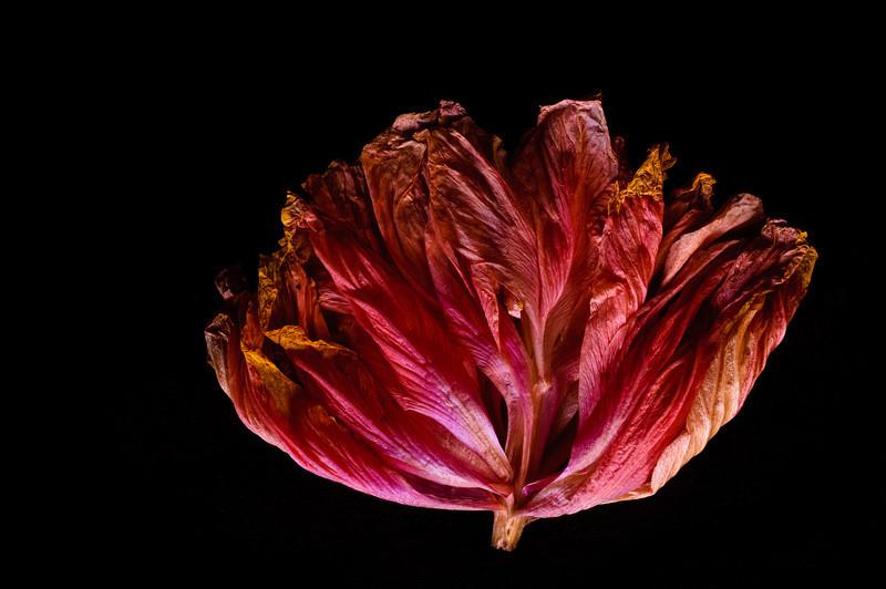 hibiscus-5942