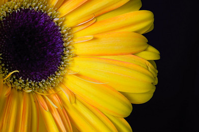 Gerbera Daisy-4489-2