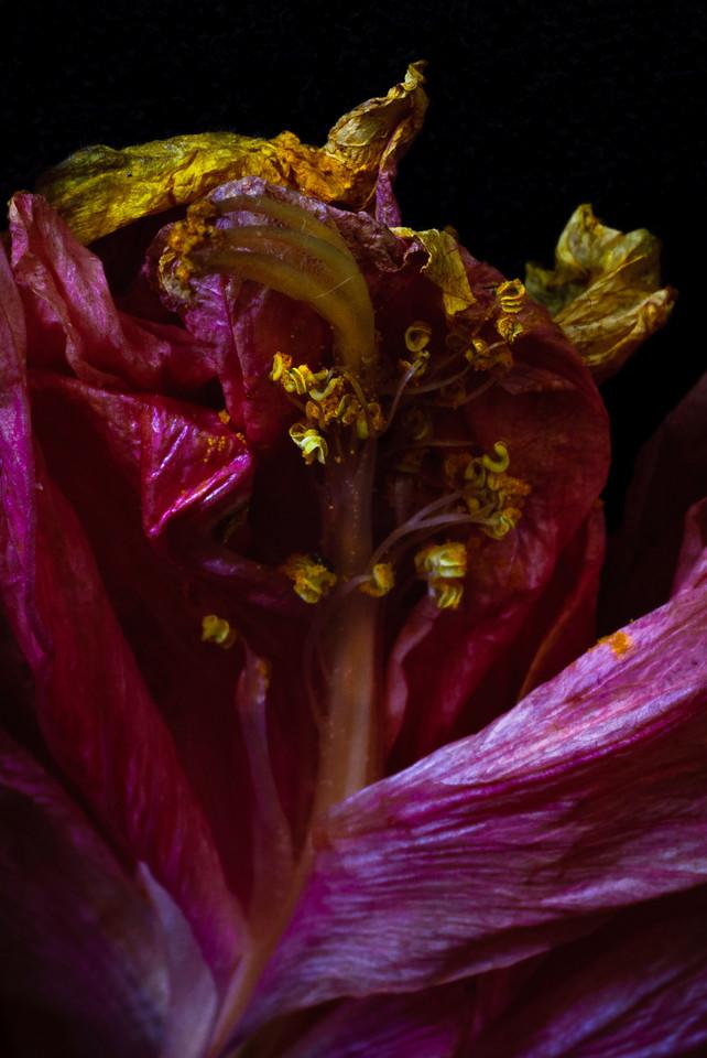 hibiscus-5950