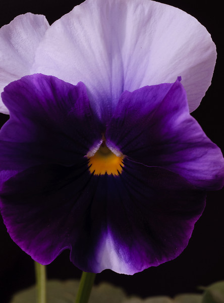 Pansy-5874