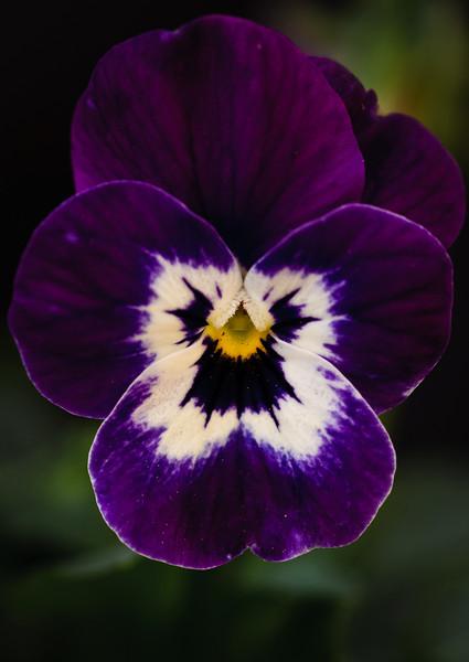 Viola-5870