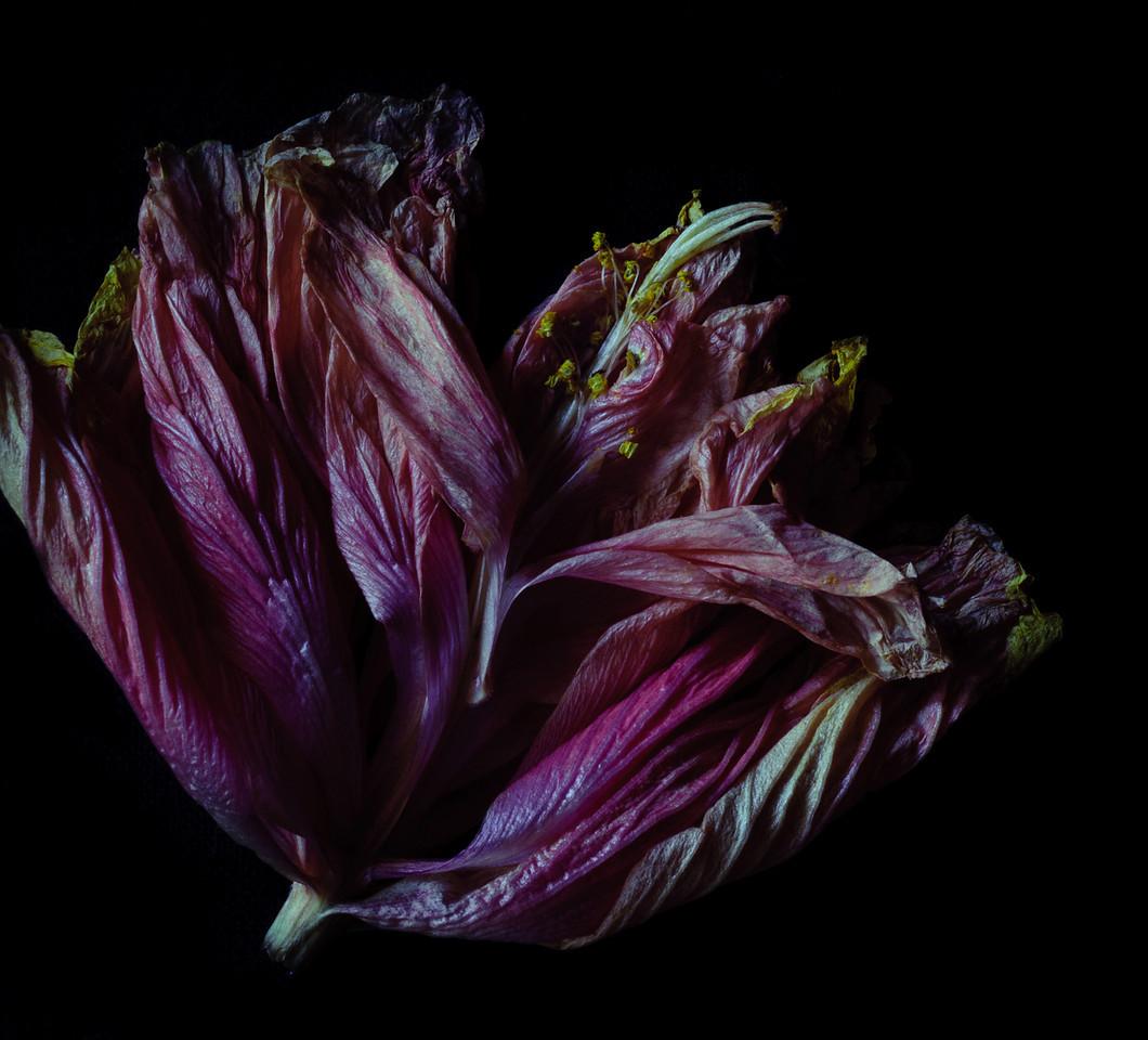 hibiscus-5945