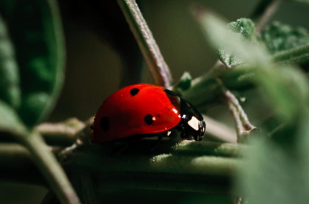 Ladybug-1821