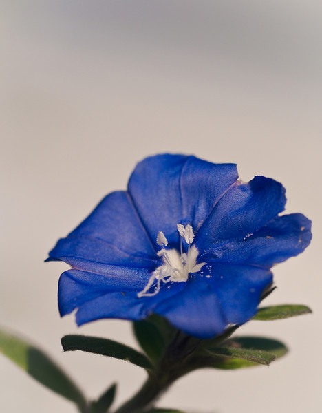 blue flower-2681