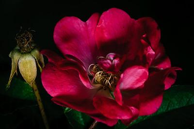 Rose-2674