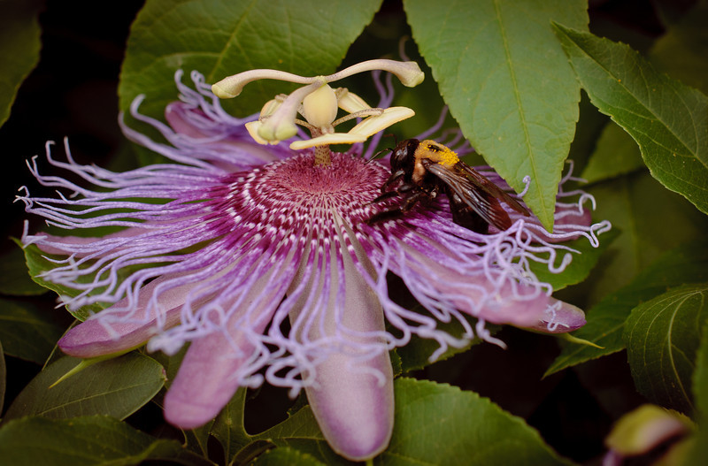 Passion flower-0079