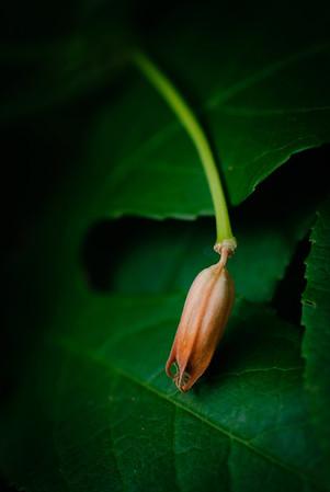 Passion flower-0035