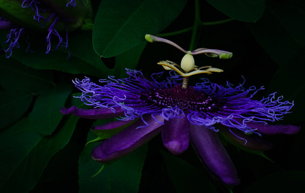 Passion flower-0005