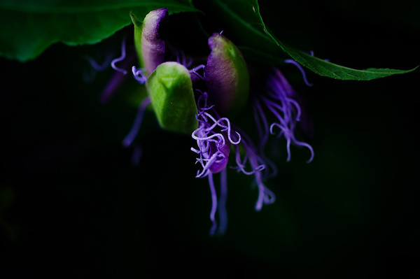 Passion flower-0031