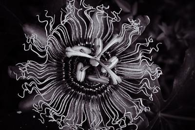 Passion flower-9992
