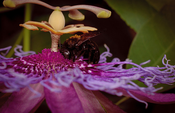 Passion flower-0058