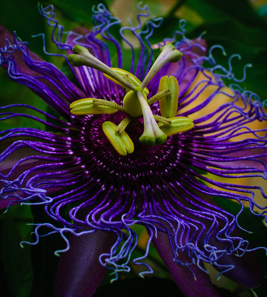 Passion flower-9998