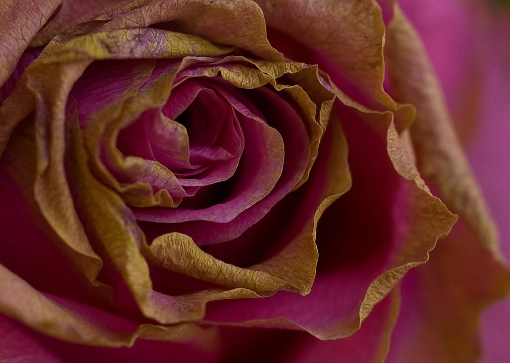 Aging rose-33