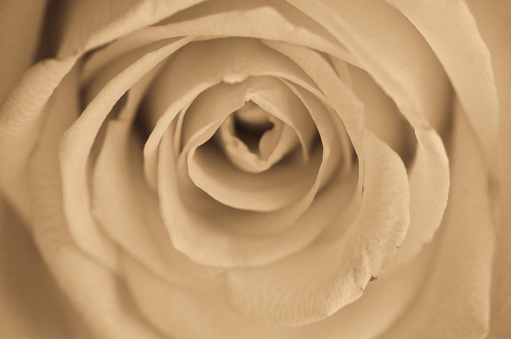 white rose-26