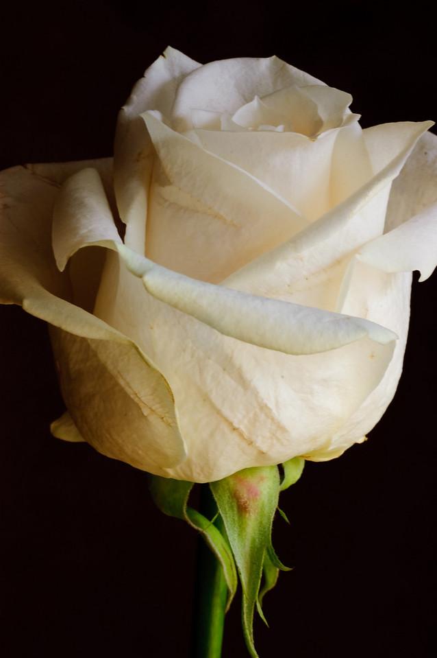 White Rose-3579