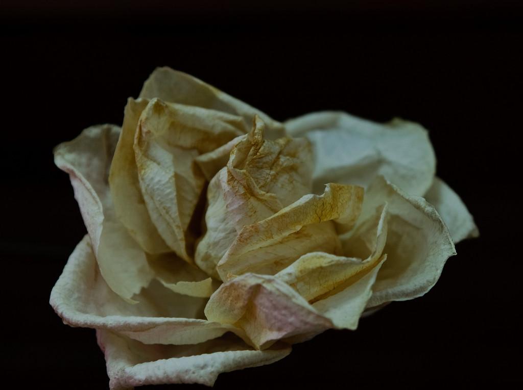 Rose-4147