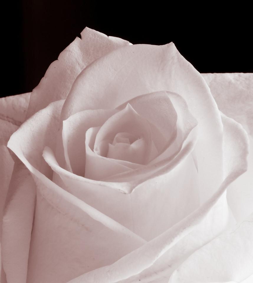 White Rose-3587