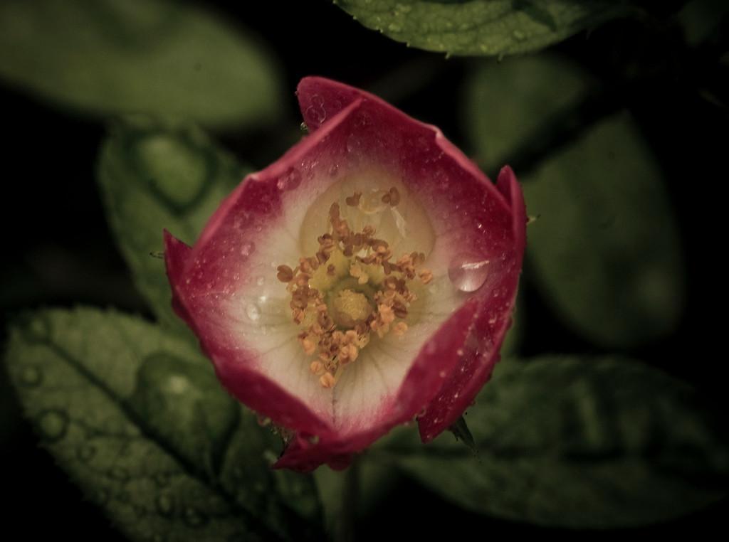 rose and drops dark-8119