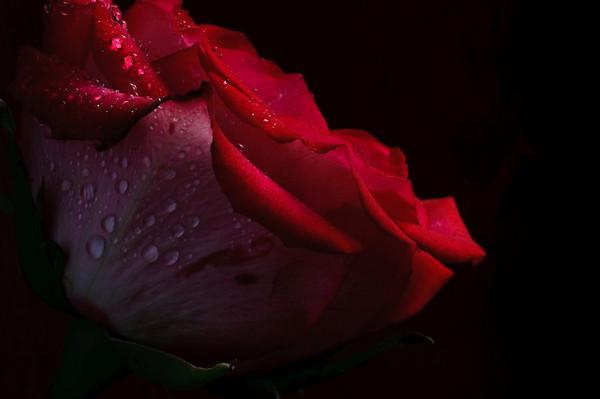Rose no 1-3670