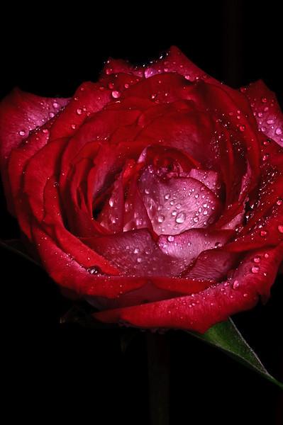 Rose no 1-3696